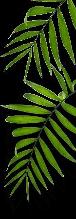 hojas caracteristica left 2